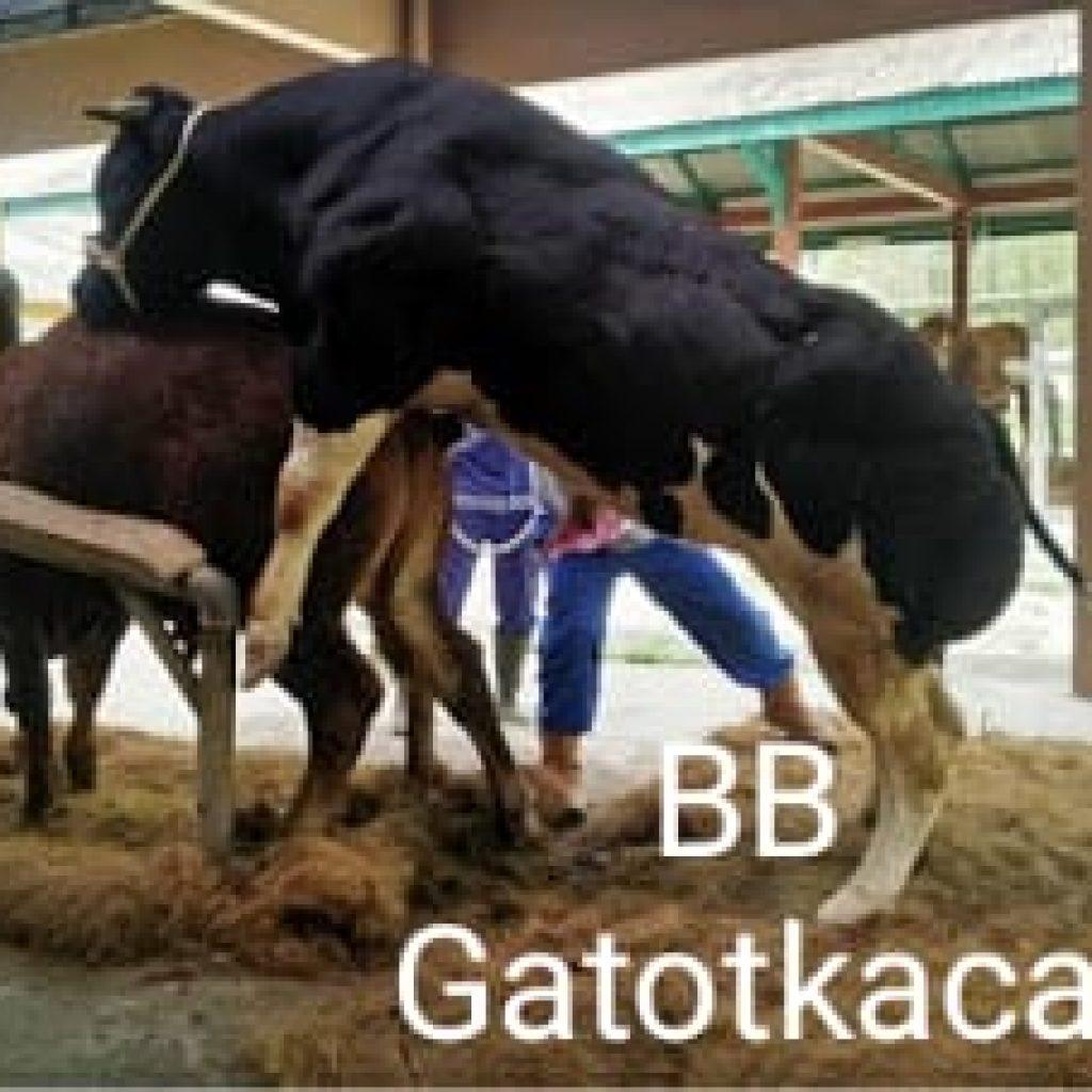 Belgian Blue Gatotkaca Telah Hadir Di Indonesia Mutiaraindotv